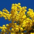 2445624-algunas-flores-mimosa-en-un-cielo-azul-provence